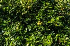 Close up orange tree with fruits Stock Photos