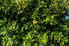 Close up orange tree with fruits Royalty Free Stock Photo