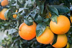 Close up of orange tree in the garden Royalty Free Stock Images