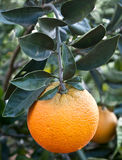 Close up of orange tree in the garden Stock Photos