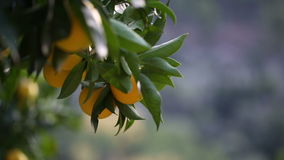 Close up of an orange tree stock footage