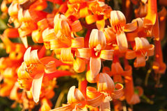 Close up Orange trumpet, Flame flower, Fire-cracker vine Royalty Free Stock Images