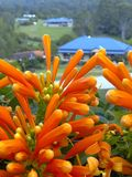 Close up of an orange trumpet vine royalty free stock images