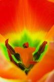 Close up of orange tulip Stock Images