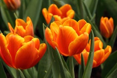 Close up of orange tulips Royalty Free Stock Photography