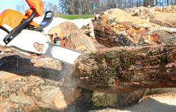 Chainsaw slicing through log with sawdust spraying. Close-up of orange and white chainsaw cutting through hard maple log with sawdust flying stock images