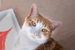 Close up orange and white tabby cat. Close up shot of orange and white tabby cat looking directly on the camera neutral background Royalty Free Stock Photo