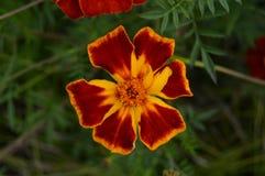 Pretty orange yellow flower Stock Image