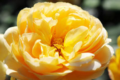 Close-up of orange yellow rose in garden.  stock photography