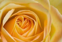 Close up orange and yellow rose Stock Photos