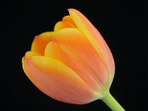 Close-up of a orange-yellowish tulip Royalty Free Stock Images