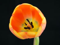 Close-up of a orange-yellowish tulip Royalty Free Stock Photos