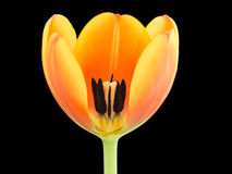 Close-up of a orange-yellowish tulip Royalty Free Stock Photography