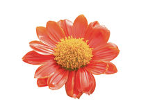 Close up orange zinnia flower isolated Stock Photo