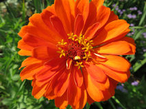 Close-up Orange Zinnia Flower Royalty Free Stock Image