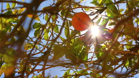 Close-up of oranges on a tree stock video footage