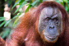 Close up of orangutan. Face and shoulders of an adult Sumatran orangutan Royalty Free Stock Photos