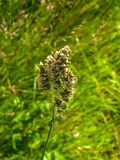 Close up of orchard grass Dactylis glomerata. Nature in summer on meadow in Poland royalty free stock photo