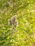 Close up of orchard grass Dactylis glomerata. Nature in summer on meadow in Poland stock photos