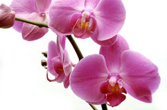 Close-up of orchid flower Royalty Free Stock Photo