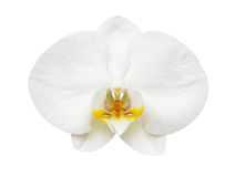 Close up of white orchid Royalty Free Stock Image