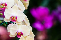 Close-up of orchid flower, Phalaenopsis orchid. Close-up beautiful of pink orchid, Genus is phalaenopsis orchid Royalty Free Stock Images