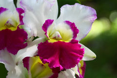 Close up orchid in garden, colorful flower Royalty Free Stock Photo