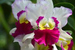 Close up orchid in garden, colorful flower Royalty Free Stock Photos