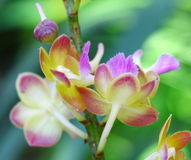 Close up orchid in garden, colorful flower Royalty Free Stock Images