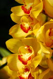 Close up orchid in garden, colorful flower Stock Photos