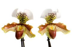 Close up of orchid (Paphiopedilum Stock Photography