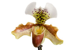 Close up of orchid (Paphiopedilum Royalty Free Stock Images