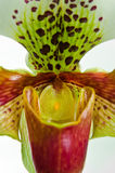 Close up of orchid (Paphiopedilum Royalty Free Stock Photography