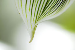Close-up of Orchid petal. On a blurred background Royalty Free Stock Photography