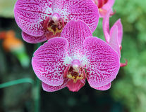 Close-up of orchid phalaenopsis. Bouquet of flowers orchids. Royalty Free Stock Photos
