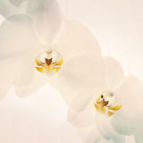 Close-up of orchids on light background. Royalty Free Stock Photography