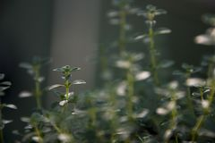 Close up of oregano growing in herb garden royalty free stock photos