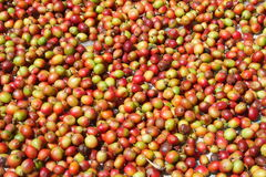 Close up of Organic coffee beans drying in sun. Organic coffee beans drying in sun Stock Photos