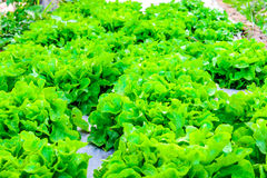 Close up of organic hydroponic vegetable Royalty Free Stock Images