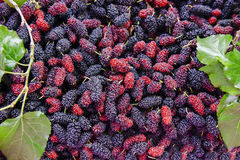 Close up organic mulberry fruit harvested from the farm. Stock Photography