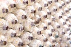 Close-up organic mushrooms farm. Close-up organic mushrooms in the farm; raw food vegetable stock image