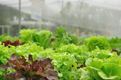 Close up organic vegetable farms, clean food. Stock Images