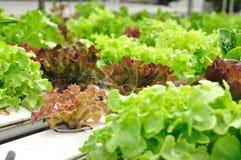Close up organic vegetable farms, clean food Stock Photos