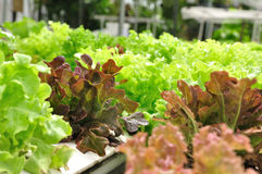 Close up organic vegetable farms, clean and healthy food Stock Photos