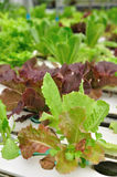 Close up organic vegetable farms, clean healthy food by portrait. Royalty Free Stock Images