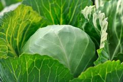 Close-up of organically cultivated fresh cabbage royalty free stock image