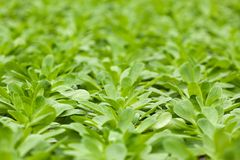 Detail of Lamb`s Lettuce or Corn Salad - Valerianella locust. Close up of organically grown Corn Salad - Valerianella locusta - growing in a greenhouse or royalty free stock image