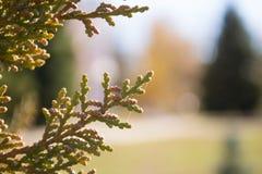 Close-up oriental branco do ramo do cedro Fotografia de Stock