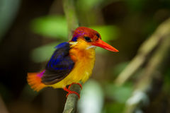 Close up of Oriental Dwarf Kingfisher Stock Photo