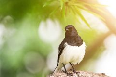 Close-up of Oriental Magpie Robin is standing on a branch of tree with green leaves background. stock images